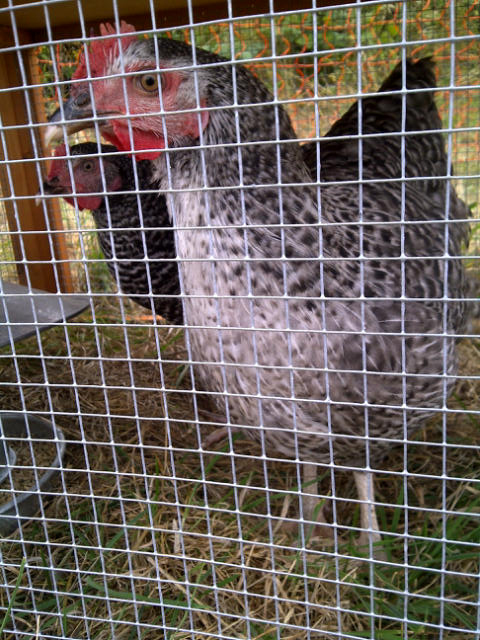 Lucy's chickens