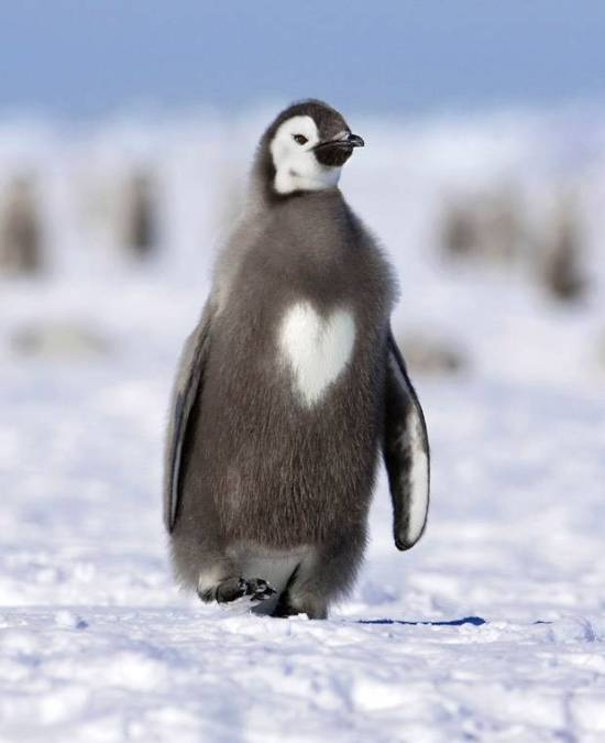 Love heart chested penguin