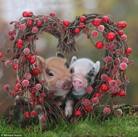Valentine's micro pigs